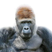 110905 Gorilla Portrait-by-morten-koldby